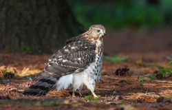 Cooper's hawk (Accipiter cooperii) Royalty Free Stock Photos