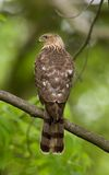 Cooper's hawk Accipiter cooperii. Perched Royalty Free Stock Photo