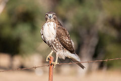 Red-tailed Hawk - Buteo jamaicensis, Juvenile Stock Image