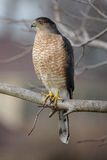 Cooper's Hawk. Adult Cooper's Hawk perched on a tree branch Stock Photography
