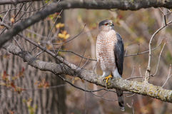 Cooper's Hawk. On a branch stock photo