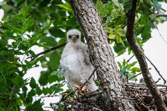 Cooper's Hawk Chick Stock Photography