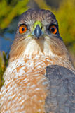 Cooper's Hawk Royalty Free Stock Photography
