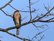 Cooper`s Hawk. A Cooper`s hawk Accipiter cooperii perched in a tree. Shot in Kitchener, Ontario, Canada royalty free stock image