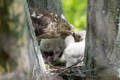 Cooper-s hawk feeding chicks Stock Photography