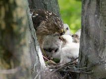 Cooper-s hawk feeding chicks Stock Photo