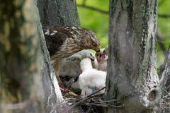 Cooper-s hawk feeding chicks Stock Photos