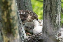 Cooper-s hawk feeding chicks Stock Image