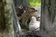 Cooper-s hawk feeding chicks Royalty Free Stock Images