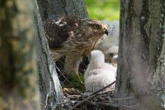 Cooper-s hawk feeding chicks Royalty Free Stock Photos