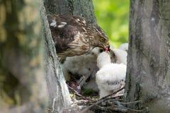 Cooper-s hawk feeding chicks Royalty Free Stock Image