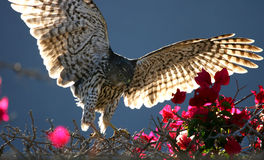 Coopers Hawk Spreads Wings Hunting Prey Royalty Free Stock Photos