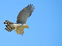 Cooper's Hawk in Flight. Against blue sky Royalty Free Stock Images