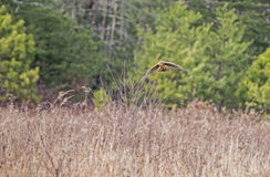 Cooper`s Hawk flying over an open field. Stock Image