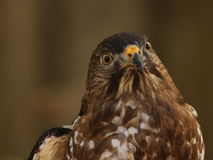 Cooper`s hawk. Giving comical expression as it notices me taking it`s picture Stock Image