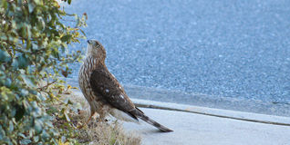 Cooper's Hawk -on the ground Stock Images
