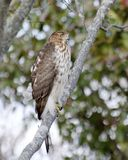 Coopers Hawk Stock Image