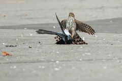 Cooper`s Hawk. Juvenile Cooper`s Hawk holding a Rock Pigeon on pavement. Toronto, Ontario, Canada stock photography