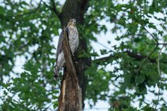 Cooper`s Hawk. Juvenile Cooper`s Hawk perched in a tree royalty free stock image