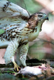 Cooper's Hawk with Kill in Forrest. Cooper's Hawk in forrest with killw and wings up Stock Photo