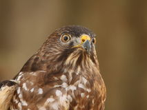 Cooper`s hawk looking concerned. Closeup profile of a Cooper`s hawk looking around Stock Photos