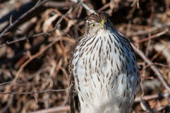 Cooper's Hawk. Perched on a branch stock image