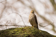Cooper`s Hawk Royalty Free Stock Photos