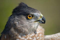 Cooper's Hawk portrait Royalty Free Stock Photo
