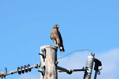 Cooper's Hawk on Power Pole Stock Photography