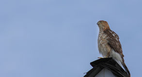 Cooper's Hawk -on roof. Adult Cooper's Hawk perched on a roof top with a clear blue sky royalty free stock images