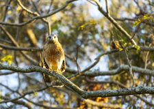 A Cooper`s Hawk Stock Photography