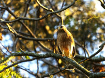 A Cooper`s Hawk, side view royalty free stock photos
