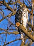 Cooper's Hawk Stock Image