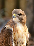 Cooper`s Hawk. Is a small hawk native to North America and has brown and white coloring Stock Image