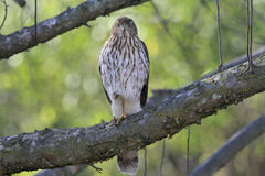 Cooper's hawk straight gaze Royalty Free Stock Photo