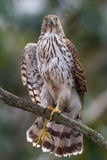 Cooper's Hawk Stretching Stock Image