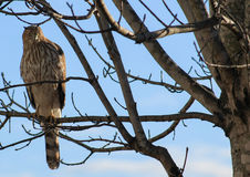 Cooper's Hawk-tree branch Royalty Free Stock Photography