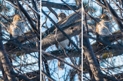 Cooper's Hawk in a Tree Stock Images