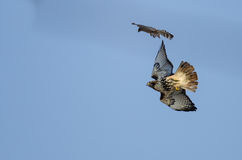 Cooper`s Hawk Versus Red-Tail Hawk Aerial Combat. In the Clear Blue Sky Royalty Free Stock Photos