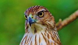 Cooper's Hawk Royalty Free Stock Image