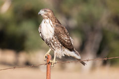 Red-tailed Hawk - Buteo jamaicensis, Juvenile Stock Images