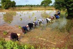 Cooperación en campo del arroz del jazmín Imagen de archivo