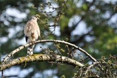 鹰类Cooperii 免版税库存图片