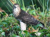 Cooperii de Cooper's Hawk Accipiter Imágenes de archivo libres de regalías