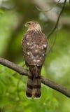 Cooperii del Accipiter del falco del bottaio Fotografia Stock Libera da Diritti