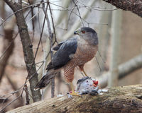 Coopers Hawk (Accipiter Cooperi) Stock Photos