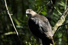 Coopers hawk, accipiter cooperii Royalty Free Stock Images