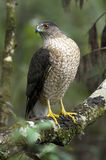 Coopers hawk, accipiter cooperii Royalty Free Stock Image