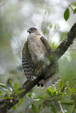 Coopers hawk, accipiter cooperii Stock Photography