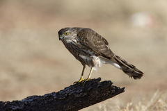 Coopers hawk, Accipiter cooperii Royalty Free Stock Photos